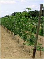 Wijnplanten