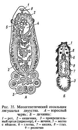 Лягушачья двуустка