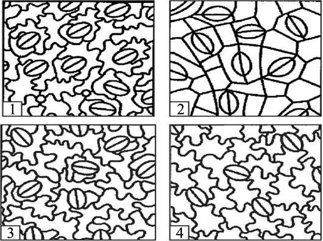 Рисунок 2: Основные типы устьичных аппаратов. 1 – диацитный; 2 –парацитный; 3 –анизоцитный; 4 — аномоцитный.
