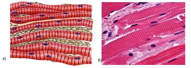 Структурные особенности эпителиальной ткани