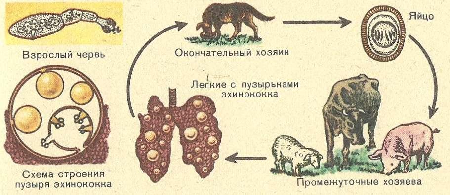 Жизненный циклэхинококка
