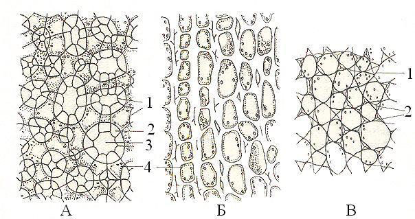 Рисунок 2: Колленхима. А – рыхлая; Б – пластинчатая; В – уголковая. 1 – первичная; клеточная стенка; 2 – вторичная клеточная стенка; 3 – межклетник; 4 – протопласт.