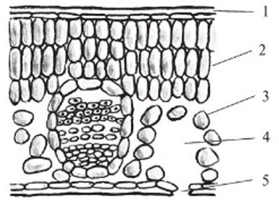 Рисунок 2: Поперечный срез листа. 1 – эпидерма; 2 – столбчатая хлоренхима; 3 – губчатая хлоренхима; 4 – подустьичная полость; 5 – устьице.