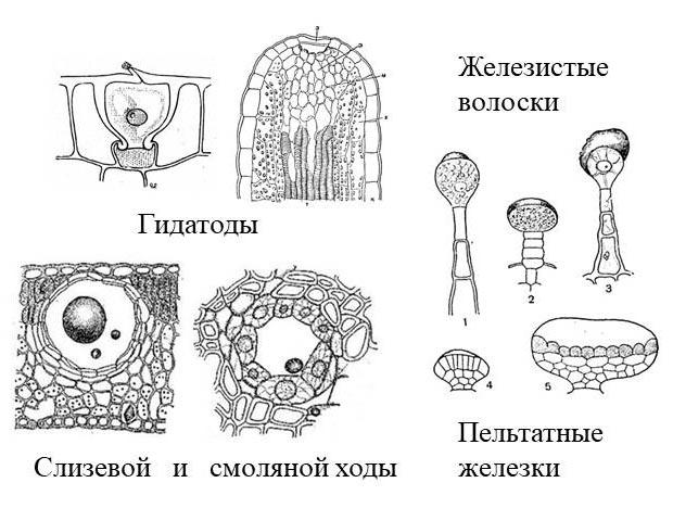 Рисунок: Секреторные структуры.