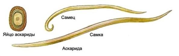 Рис. 1. Человеческая аскарида: самка, самец, яйцо