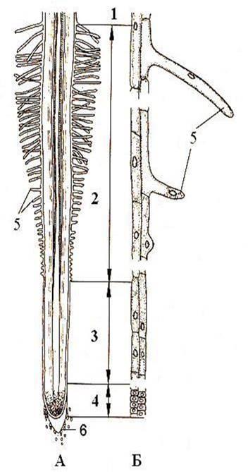 Рисунок: Ризодерма. А – Продольный разрез корня; Б – Клетки ризодермы. 1 – зона проведения; 2 – зона всасывания; 3 – зона роста; 4 – зона деления; 5 – корневые волоски; 6 – корневой чехлик.