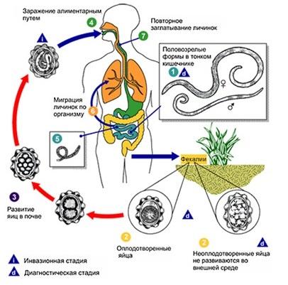 Рис. 2. Жизненный цикл человеческой аскариды