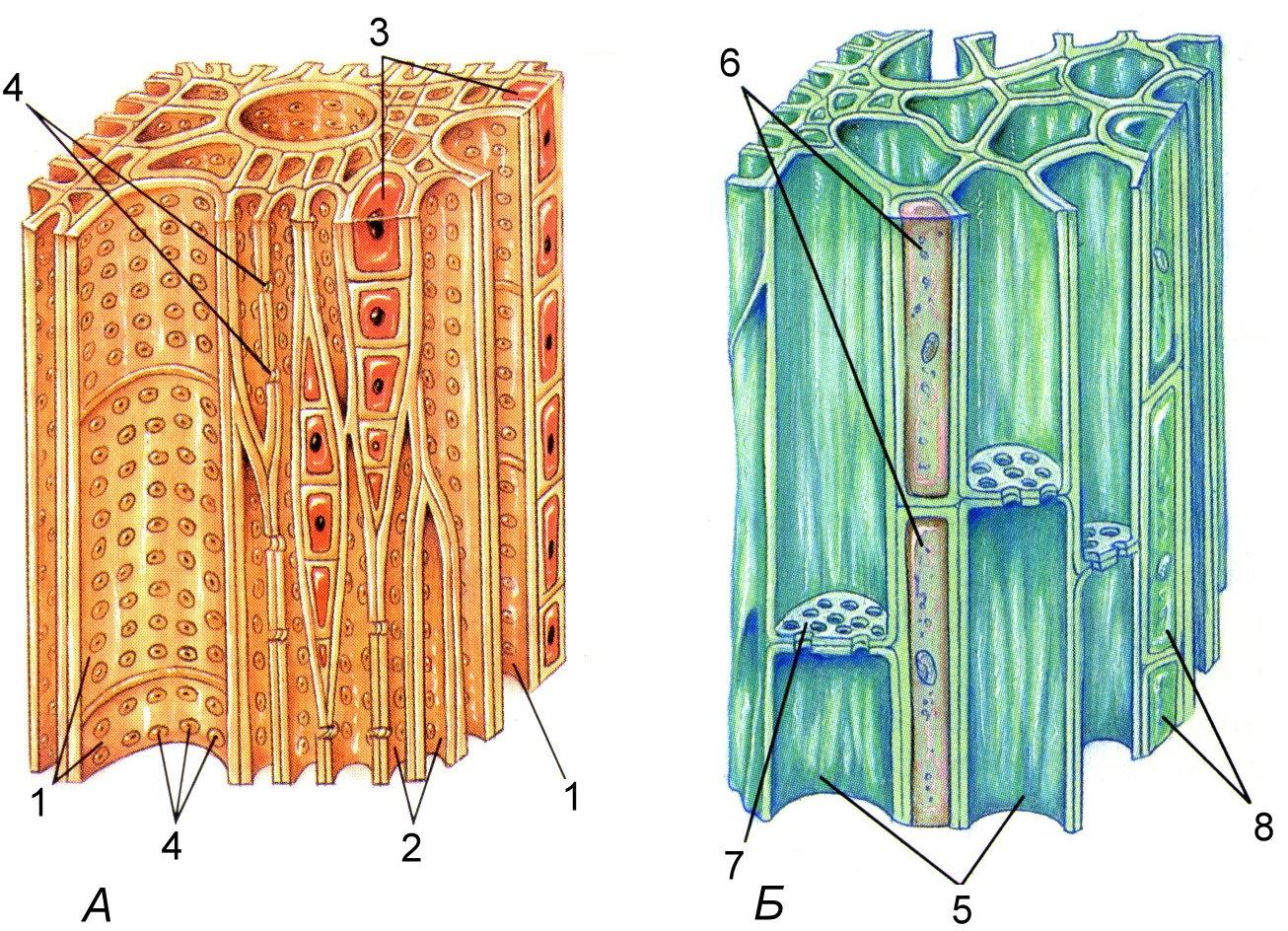Рисунок: Проводящие ткани. А – ксилема; Б – флоэма. 1 – сосуды ксилемы; 2 – трахеиды; 3 – клетки древесной паренхимы; 4 – поры; 5 - ситовидные трубки; 6 – клетки – спутницы; 7 – ситовидные поля; 8 – клетки лубяной паренхимы.